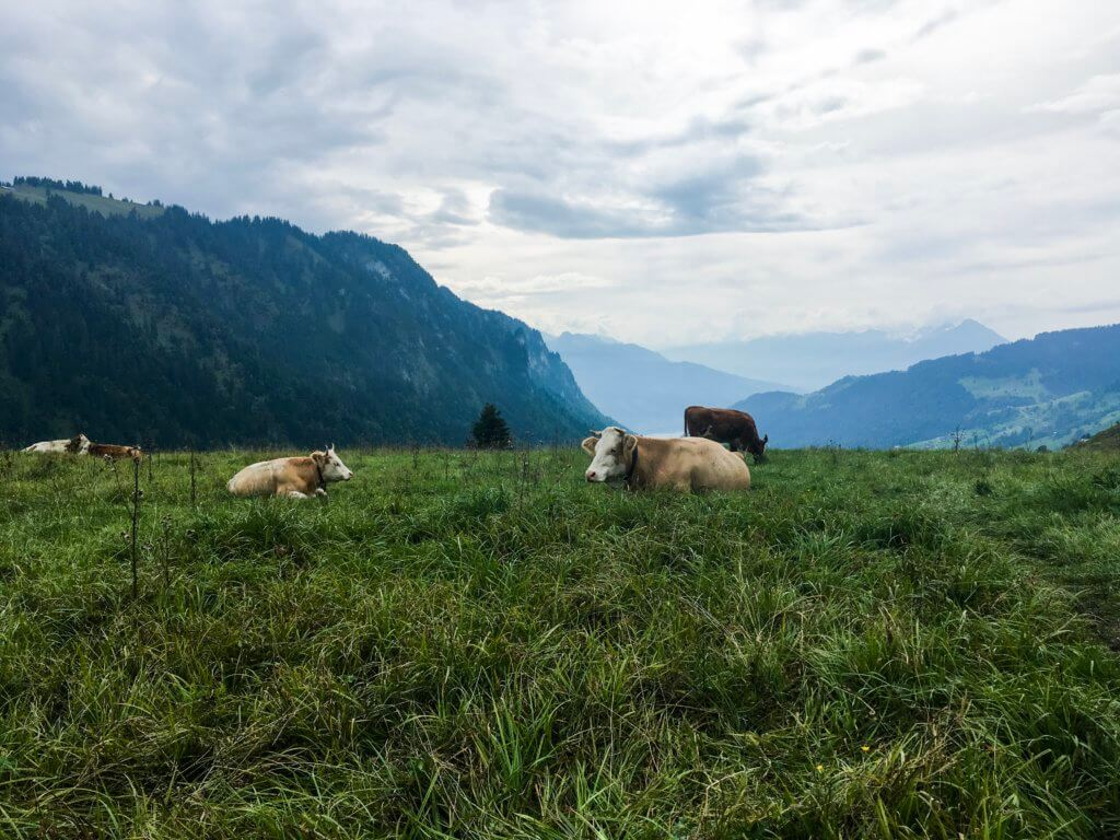Swiss cows on route to Habkern, Switzerland